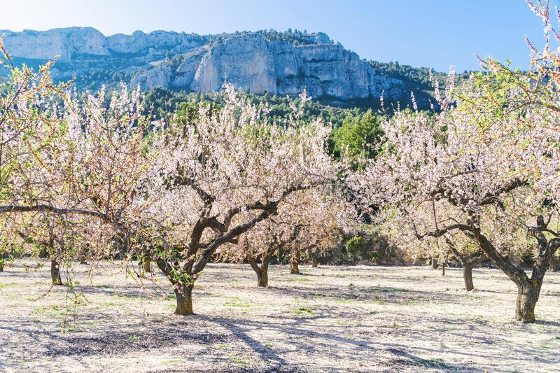 Blossoming almond tree garden with mountain and blue sky background at sunny day in Spain stock photo
