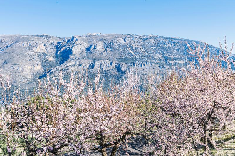 Blossoming almond tree garden with mountain and blue sky background at sunny day in Spain royalty free stock images
