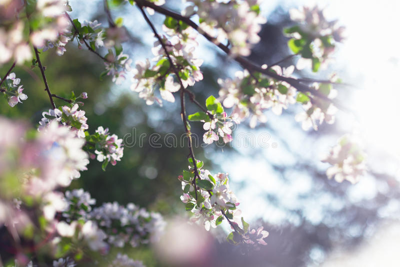 Blossoming apple royalty free stock photography