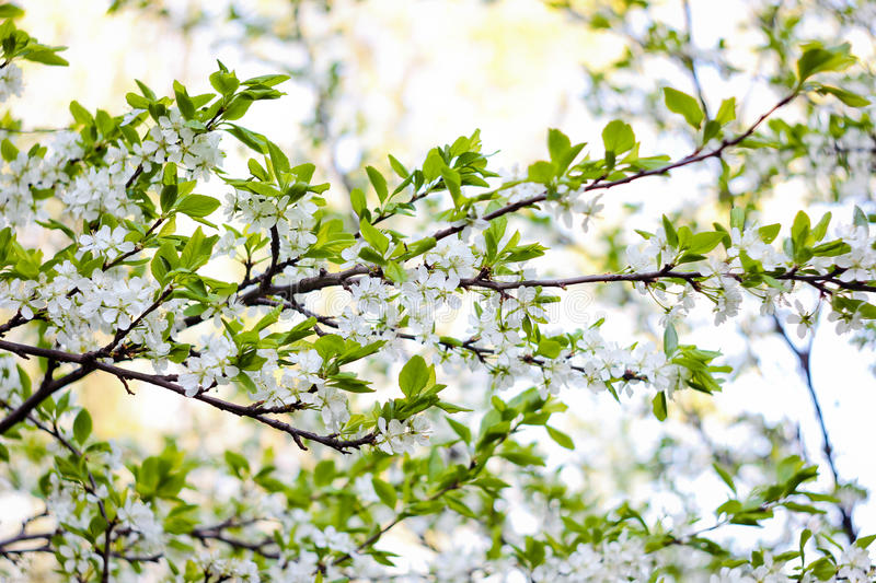 Blossoming apple branch royalty free stock image