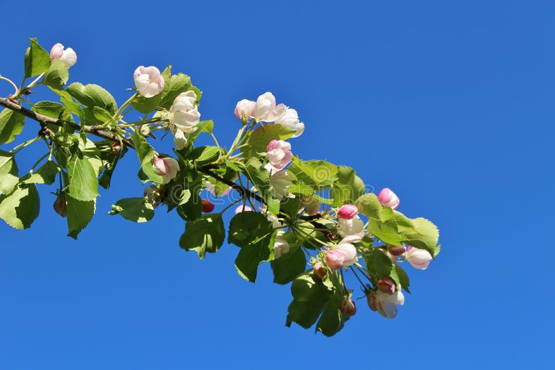 Blossoming apple tree against blue sky stock photography