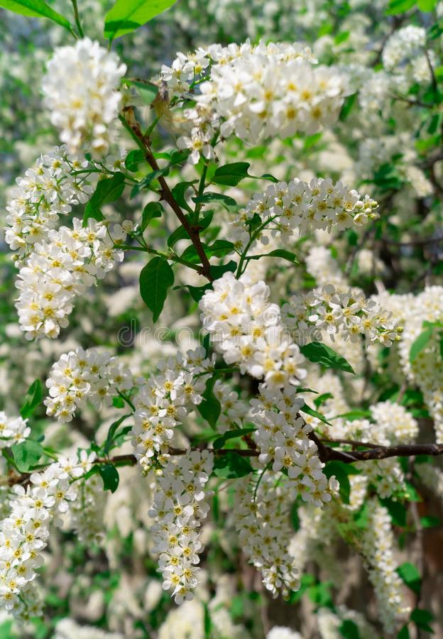 Blossoming apple tree, branches and flowers. nature. Blossoming apple tree, branches and flowers stock photo