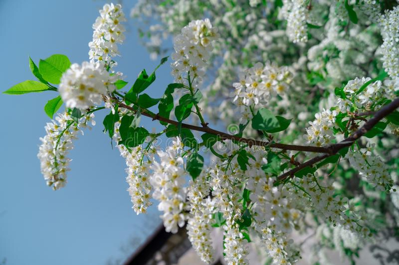 Blossoming apple tree, branches and flowers. nature. Blossoming apple tree, branches and flowers stock photography