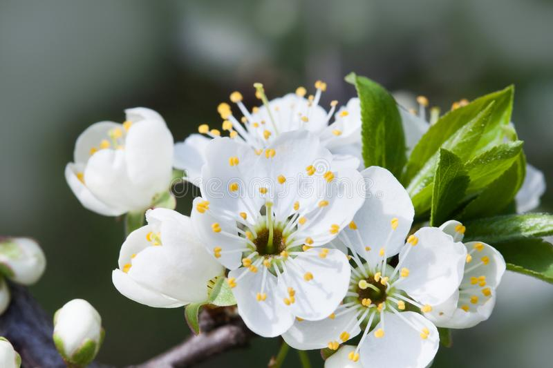 Blossoming apple tree. Macro view white flower. Beautiful spring nature landscape. Soft background photo. royalty free stock photography