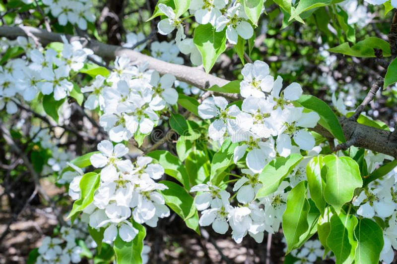 Blossoming apple tree Malus prunifolia, Chinese apple, Chinese crabapple spread the fragrant aroma. The apple tree in the full royalty free stock photography