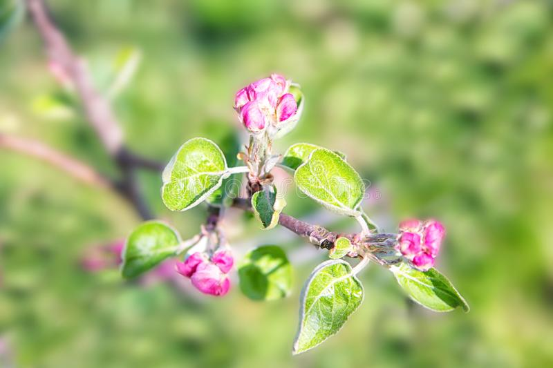 Blossoming of the apple tree in spring time with pink beautiful flowers. Macro image with copy space. Natural seasonal background.  royalty free stock photography