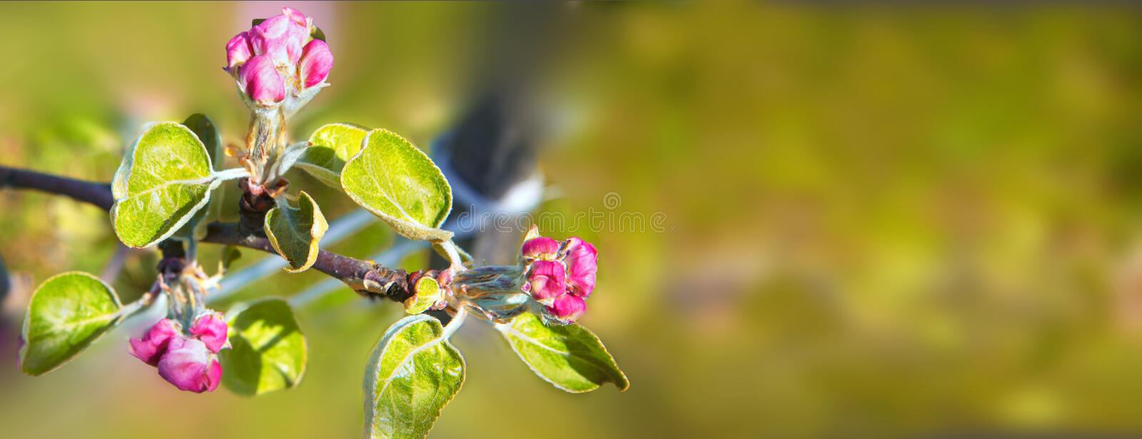 Blossoming of the apple tree in spring time with pink beautiful flowers. Macro image with copy space. Natural seasonal background stock photography
