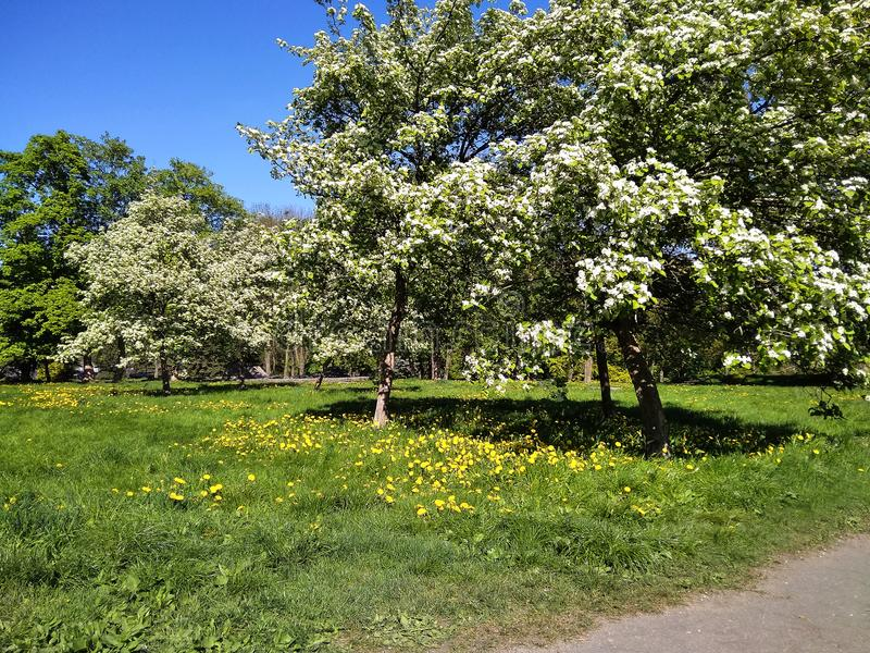 Blossoming apple-trees in the city park royalty free stock photo