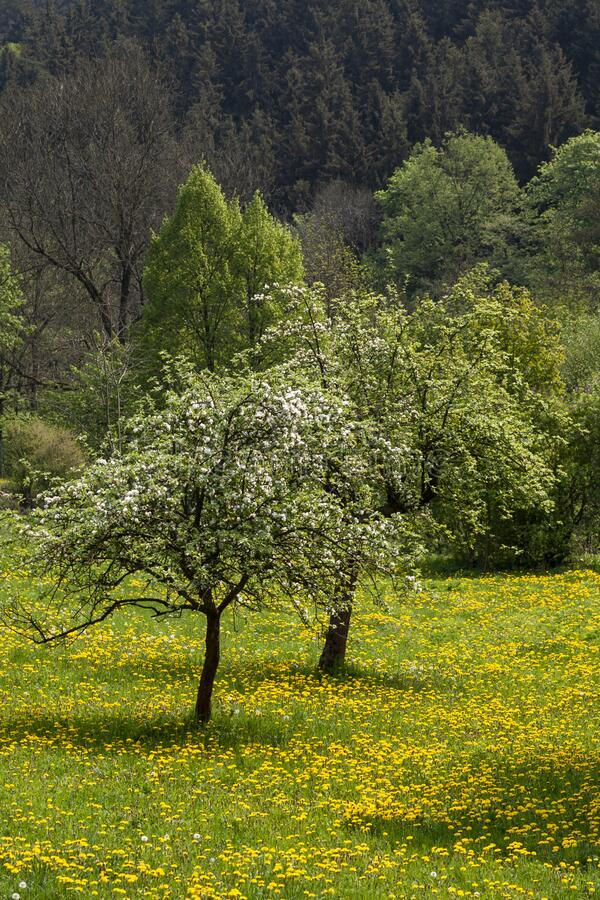 Blossoming apple trees on a meadow stock images