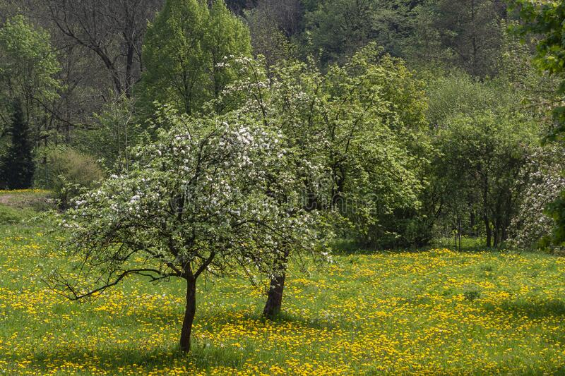 Blossoming apple trees on a meadow stock photos