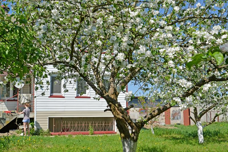 Blossoming of apple-trees on the seasonal dacha. Spring.  stock photography