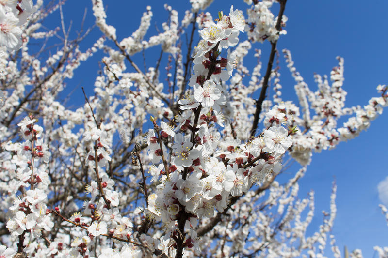 Blossoming apricot tree on blue sky background. Branches of a blossoming apricot tree against a blue sky background stock photo