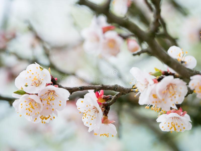 Blossoming of the apricot tree in spring time with white beautiful flowers. Macro image with copy space. Natural seasonal. Background royalty free stock photography
