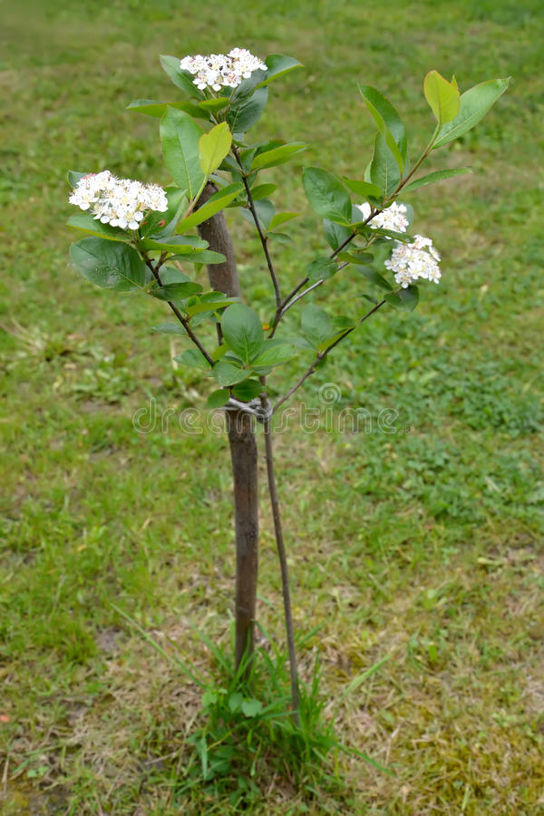 The blossoming aroniya (mountain ash) black-fruited (Aronia melanocarpa (Michx.) Elliott). Grows in a garden, young plant stock images