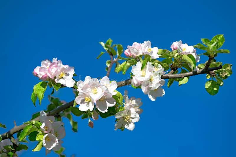 Blossoming av Apple Tree, Apple blommar på en vacker dag på våren med blå himmel royaltyfri foto
