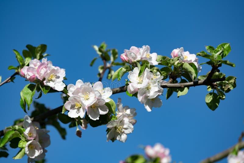 Blossoming av Apple Tree, Apple blommar på en vacker dag på våren med blå himmel fotografering för bildbyråer