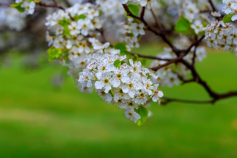 Blossoming avium сливы вишни, Украина, Восточная Европа стоковые изображения