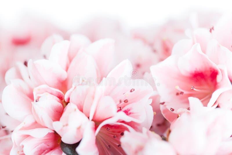 Blossoming azalea. Of a grade of Mevrouw Gerard Kint close up stock image