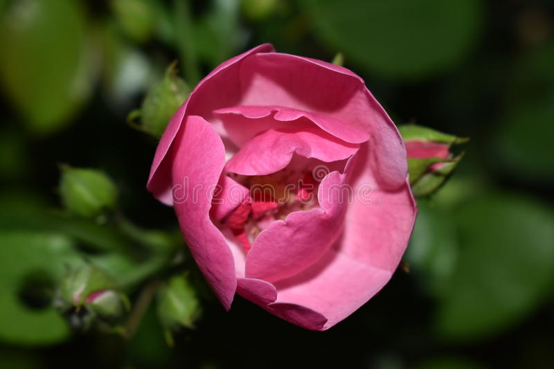 Blossoming. The beautiful pink rose spreads its petals royalty free stock photo