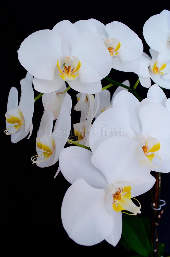 Blossoming beautifully branch of white phalaenopsis orchid flower download blossoming beautifully branch of white phalaenopsis orchid flower with yellow center isolated on a black mightylinksfo