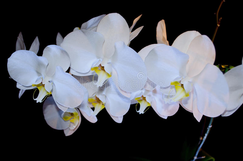 Blossoming beautifully branch of white phalaenopsis orchid flower with yellow center isolated on a black background close-up macro stock image