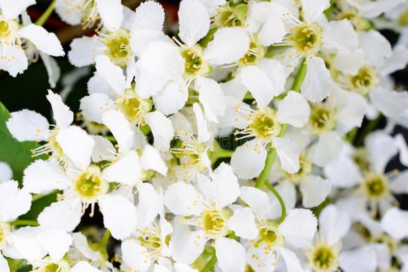 Blossoming bird cherry Prunus padus on the soft sunlight. Flowers bird cherry tree close-up. Macro Photo blooming hagberry royalty free stock photo