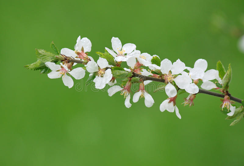 Blossoming Branch Of Bush Royalty Free Stock Photography