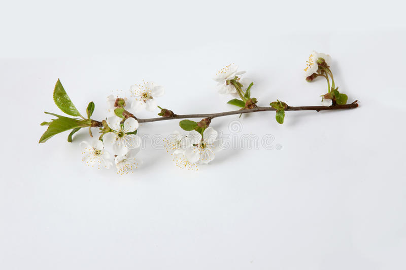 Blossoming branch of a cherry blossom tree royalty free stock image