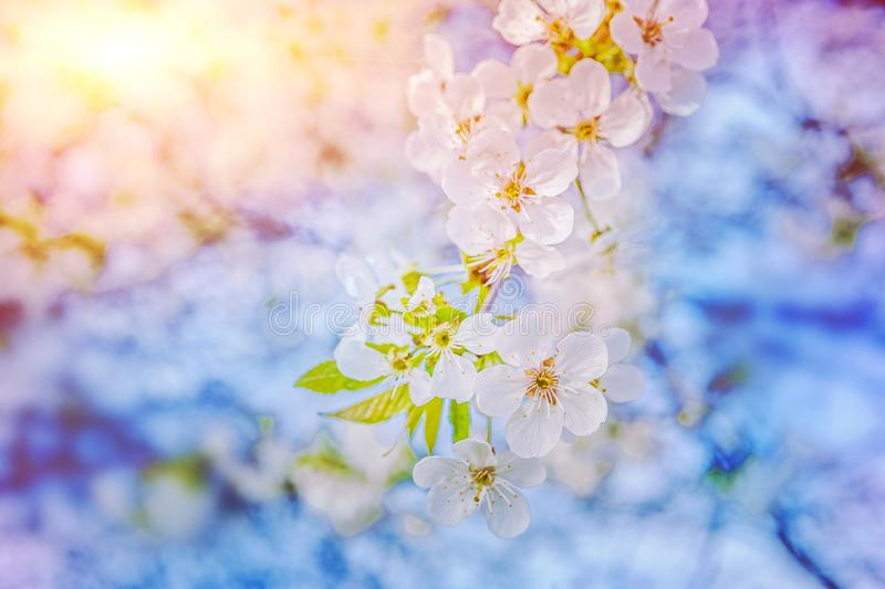 Blossoming branch of cherry tree on blurred sunny background royalty free stock image