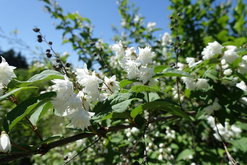 Blossoming branch of Deutzia against blue sky stock photography