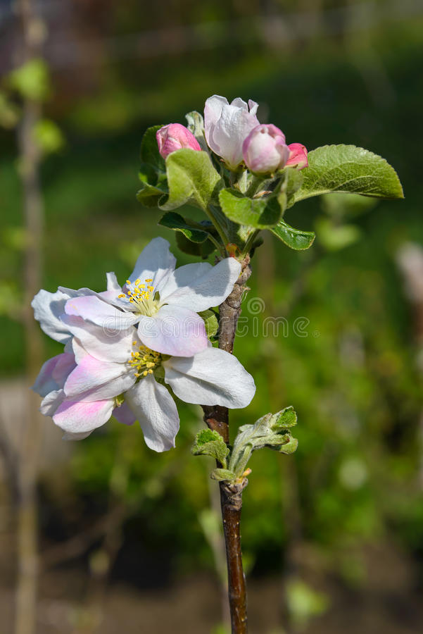 Free Blossoming Branch Of A Apple Tree Royalty Free Stock Photo - 40048025