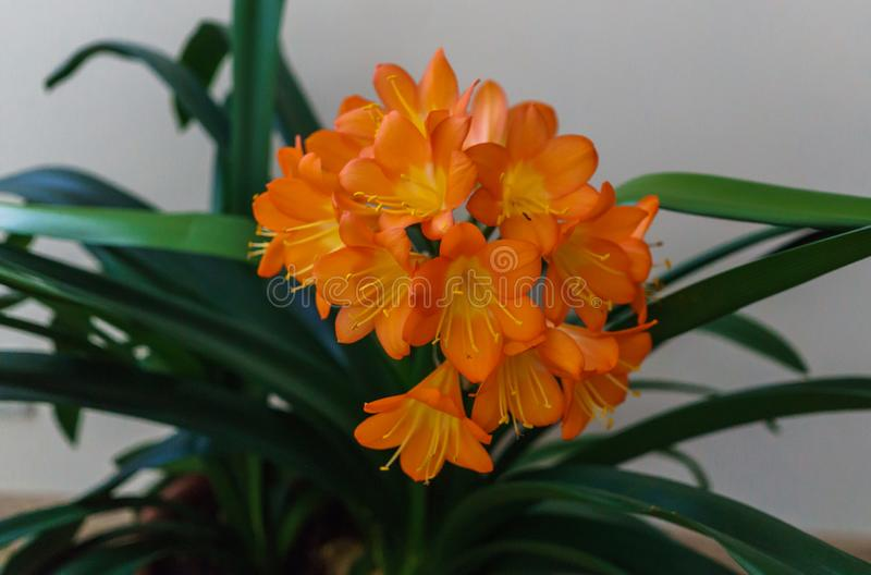 Blossoming branch of orange flowers of clivia in a flower pot.  stock photography
