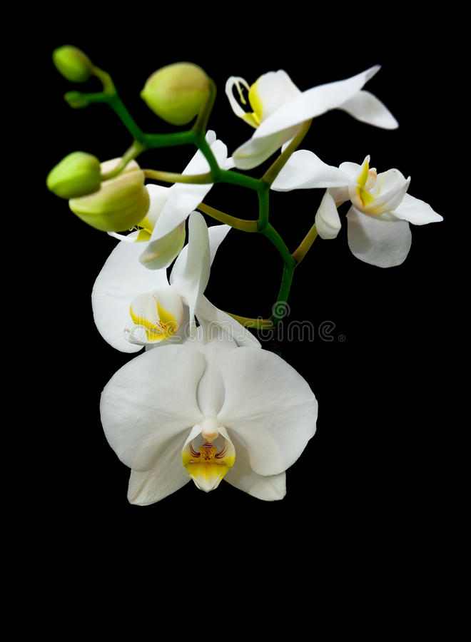 Blossoming branch of white orchid isolated on a black background stock images