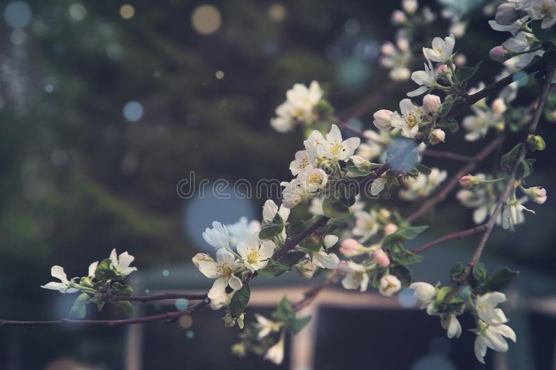Blossoming branches of an apple tree with many delicate flowers on a background of the house.  royalty free stock image
