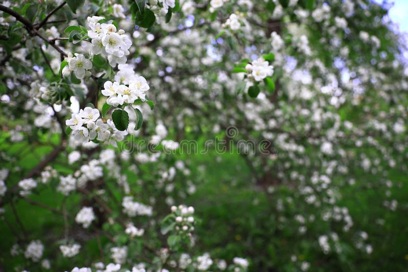 Blossoming branches of an apple tree with white flowers in focus in the foreground stock photo