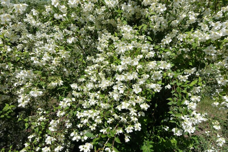 Blossoming branches of littleleaf mock orange. In May royalty free stock images