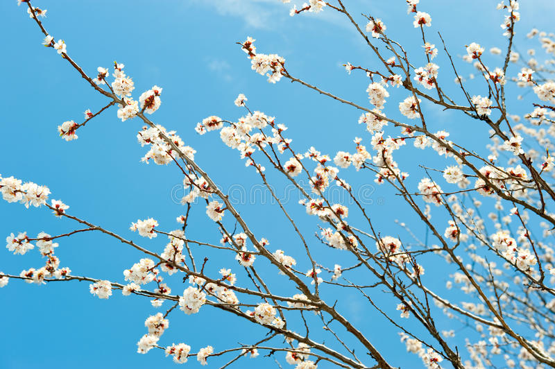 Download Blossoming Branches Of A Tree Stock Photo - Image: 14059494