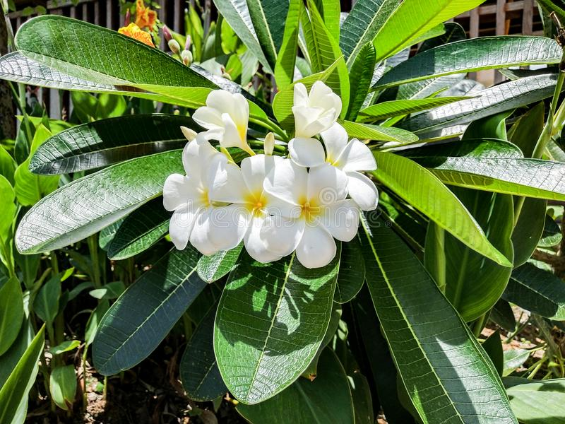White Plumier blossoming in bright morning.and green leave. soft focus and blurred royalty free stock photo