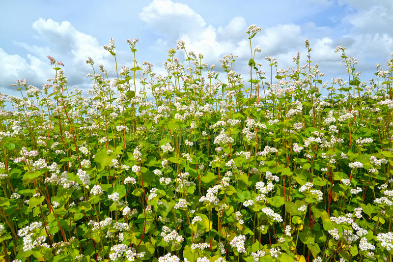The blossoming buckwheat sowing Fagopyrum esculentum Moench ag ainst the background of the sky. The blossoming buckwheat sowing Fagopyrum esculentum Moench stock images