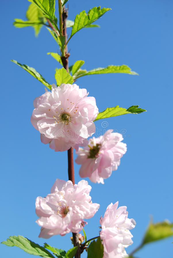 Blossoming bush royalty free stock photo