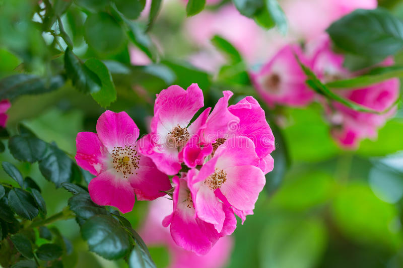 Blossoming bush with pink roses stock photos