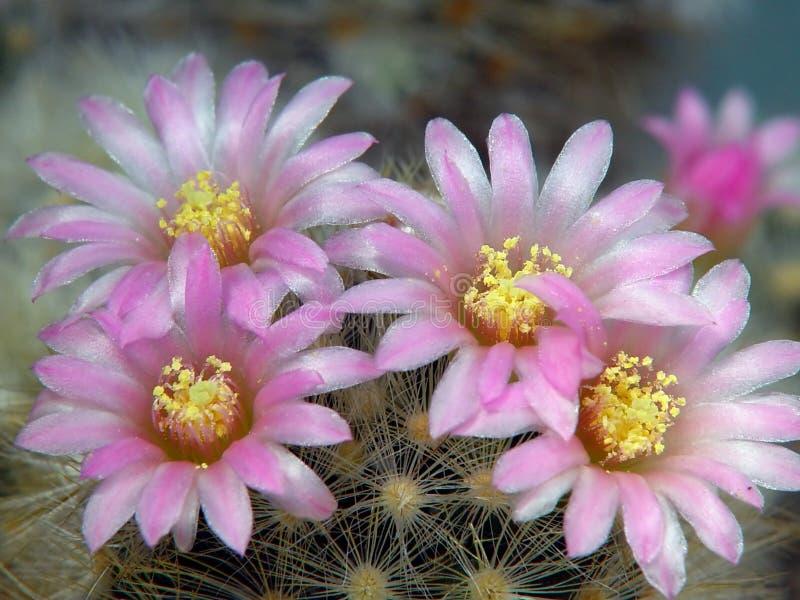 Blossoming cactus Mammillaria dasiaconta. stock image