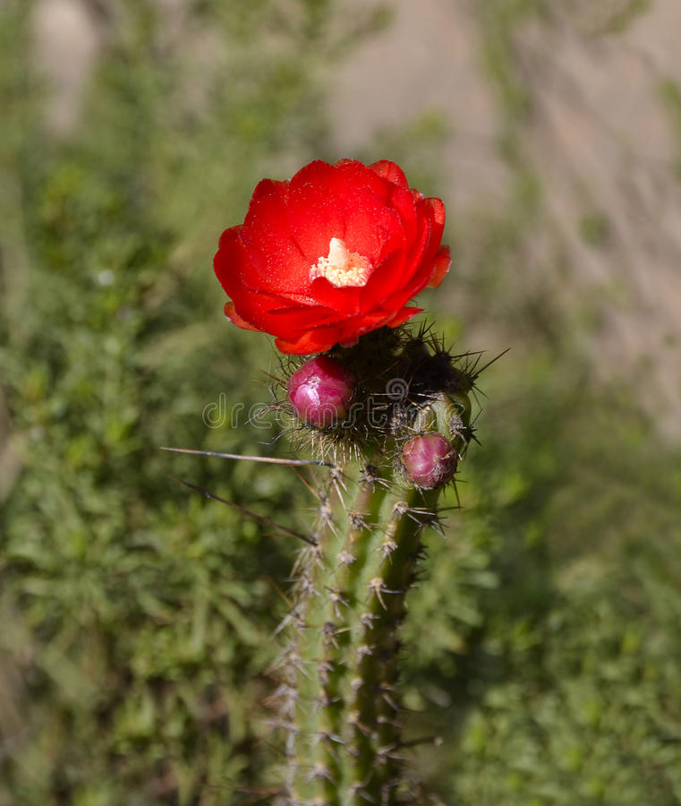 Blossoming Cactus With Red Flower Royalty Free Stock Image