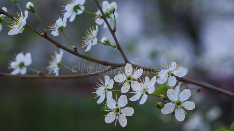 The blossoming cherry royalty free stock image