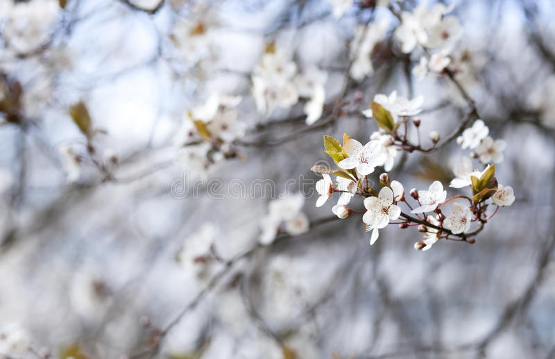 Blossoming cherry tree stock images