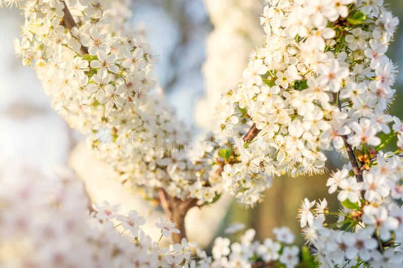 Blossoming cherry tree branch. Lot of beautiful white sakura flowers. Summer or Spring natural backgound stock photo