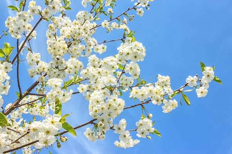 Blossoming of the cherry tree in spring time with white beautiful flowers. Macro image with copy space. Natural seasonal. Background. Selective focus royalty free stock photo