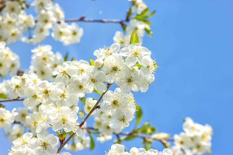 Blossoming of the cherry tree in spring time with white beautiful flowers. Macro image with copy space. Natural seasonal. Background. Selective focus royalty free stock photos