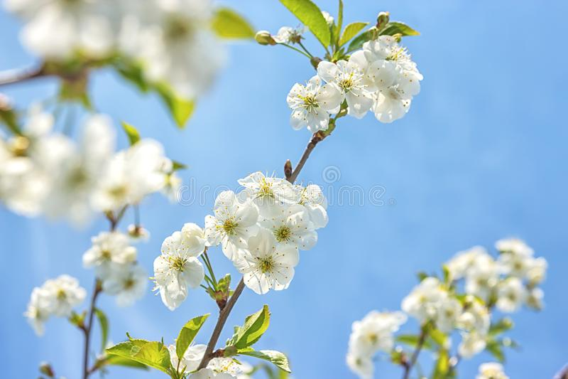 Blossoming of the cherry tree in spring time with white beautiful flowers. Macro image with copy space. Natural seasonal. Background. Selective focus stock photo