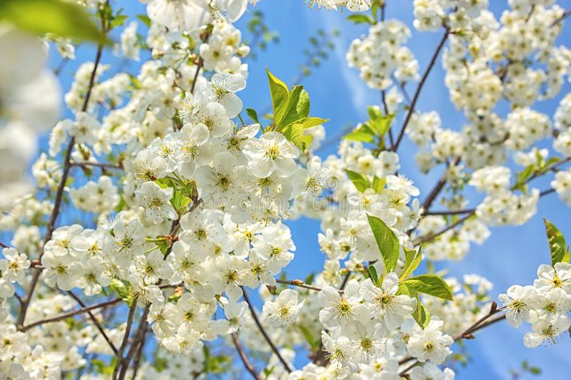 Blossoming of the cherry tree in spring time with white beautiful flowers. Macro image with copy space. Natural seasonal. Background. Selective focus royalty free stock image